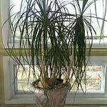 Gorgeous ponytail palm